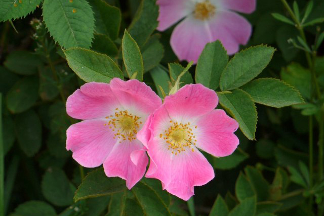 Wild roses can be found in playgrounds, gardens and in the dunes along the beach (image by Andrew Curtis, CC BY-SA).